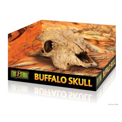 Buffel Skull