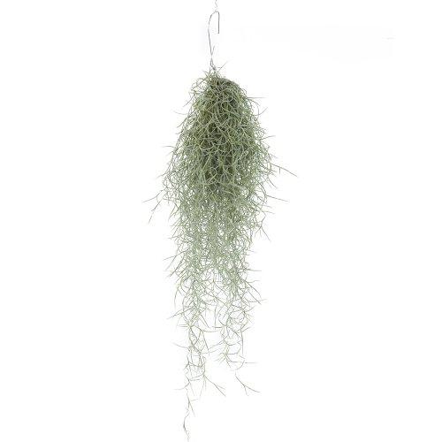 Terra Talansia Plant 75cm